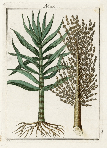 Sugar Cane「The Caneplant. From Die Welt In Bildern. Band 3. Baumeister. Vienna. 1790.」:写真・画像(3)[壁紙.com]
