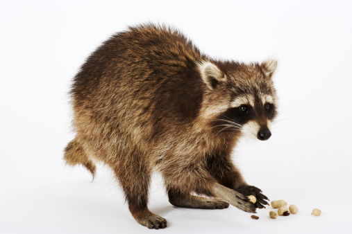 アライグマ「Raccoon (Procyon lotor) eating peanuts, white background」:スマホ壁紙(6)