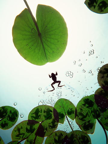 Water Lily「Frog swimming between lilly pads with other frogs on, underwater view」:スマホ壁紙(4)