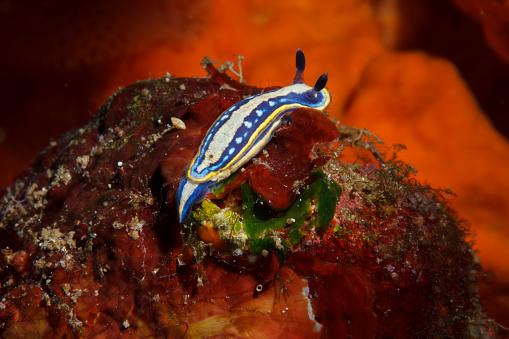ナメクジ「海の生活ウミウシ水中の美しさ」:スマホ壁紙(16)