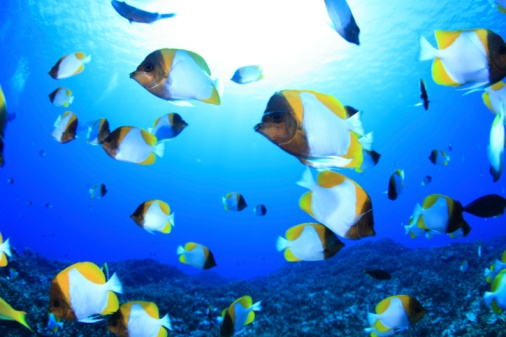 Saipan「Shoal of pyramid butterflyfish, Saipan, Northern Mariana Islands」:スマホ壁紙(14)