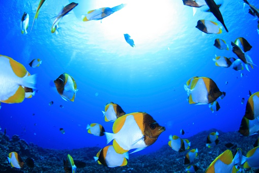 Northern Mariana Islands「Shoal of pyramid butterflyfish, Saipan, Northern Mariana Islands」:スマホ壁紙(0)
