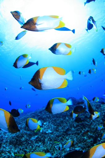 北マリアナ諸島「Shoal of pyramid butterflyfish, Saipan, Northern Mariana Islands」:スマホ壁紙(17)