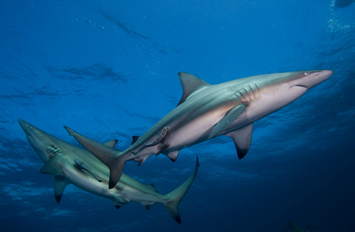 Remora Fish「Two Blacktip sharks and suckerfish swimming in ocean, KwaZulu-Natal, South Africa」:スマホ壁紙(15)