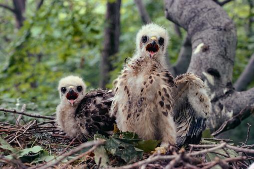 Hawk - Bird「Young Red-Shouldered Hawks」:スマホ壁紙(14)