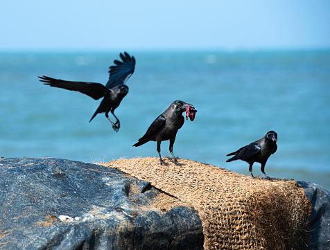 Landing - Touching Down「Three crows hunting for food by the sea, Sri Lanka」:スマホ壁紙(11)