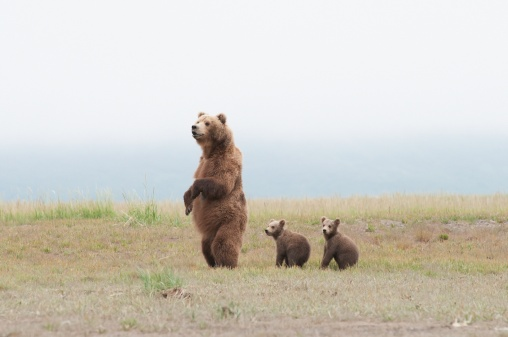 Bear Cub「a brown grizzly bear (ursus arctos horribilis) standing up with cubs」:スマホ壁紙(18)