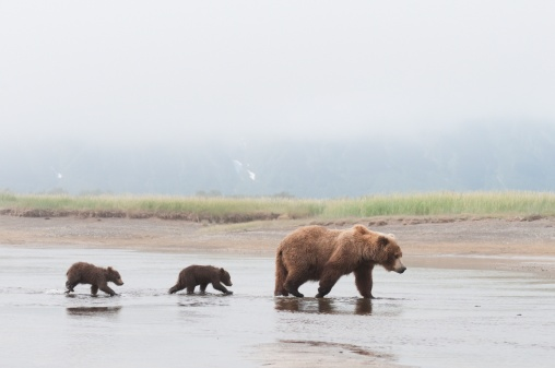 Bear Cub「a brown grizzly bear (ursus arctos horribilis) crossing a river with her two cubs」:スマホ壁紙(2)