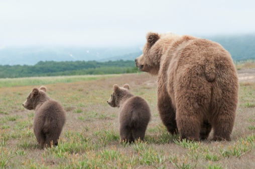 Bear Cub「a brown grizzly bear (ursus arctos horribilis) with cubs」:スマホ壁紙(5)