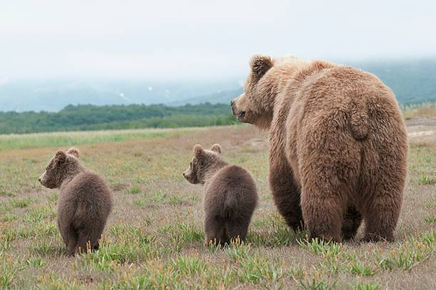 a brown grizzly bear (ursus arctos horribilis) with cubs:スマホ壁紙(壁紙.com)