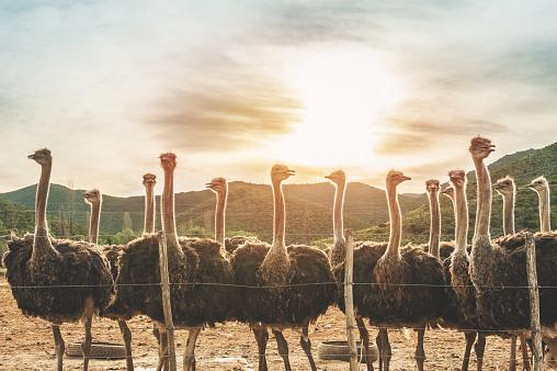 Stratus「Female Ostriches at sunset」:スマホ壁紙(19)