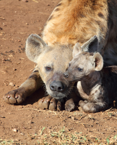 Omnivorous「A female Spotted Hyena and her cub, Kruger National Park, South Africa」:スマホ壁紙(5)