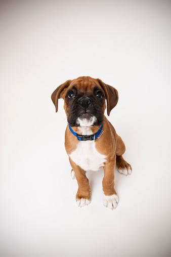Frowning「Boxer dog puppy」:スマホ壁紙(15)