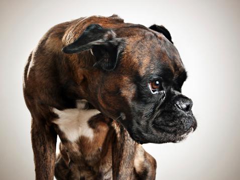 Ugliness「Boxer dog portrait」:スマホ壁紙(19)