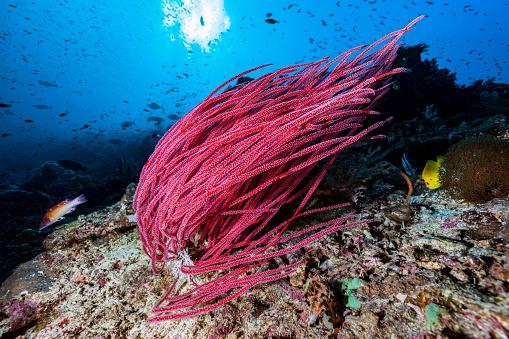 Soft Coral「Whip Coral Ellisella ceratophyta, Interesting Ocean Floor, Misool, East Indonesia」:スマホ壁紙(16)