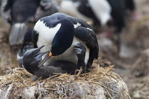 Falkland Islands「King Cormorant Feeding Young」:スマホ壁紙(0)