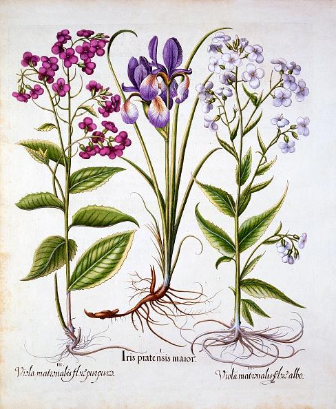 Violet - Flower「Dame'S Violet And A Field Iris」:写真・画像(18)[壁紙.com]
