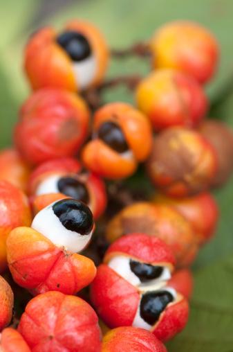 Amazon Rainforest「Guarana bunch」:スマホ壁紙(9)