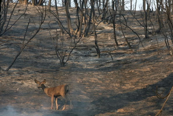 動物「Wildfires North Of Los Angeles Double In Size, 10,000 Homes Threatened」:写真・画像(17)[壁紙.com]