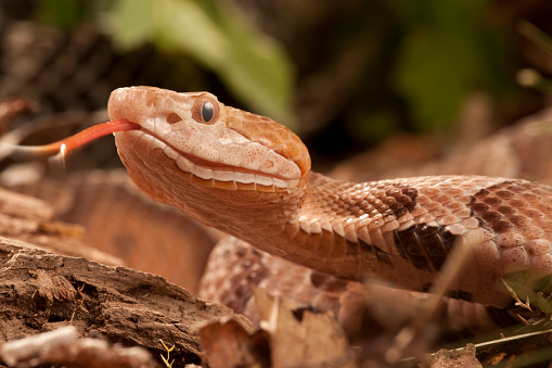 Pennsylvania「Northern Copperhead, Agkistrodon contortrix, Controlled situation, Face details, PA, USA.」:スマホ壁紙(6)