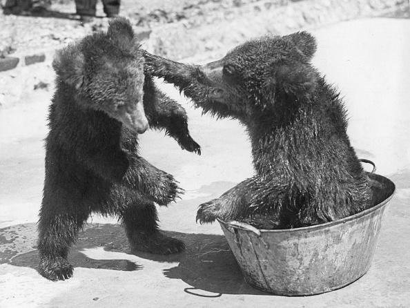 Brown Bear「Bear Baiting」:写真・画像(6)[壁紙.com]