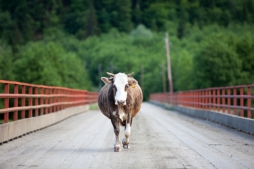 Walking「Cow walking on the bridge.」:スマホ壁紙(11)