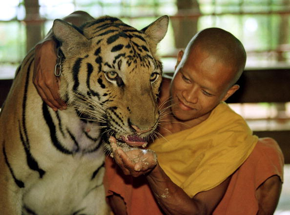 Tame「Tigers Raised by Monks in Thailand」:写真・画像(3)[壁紙.com]