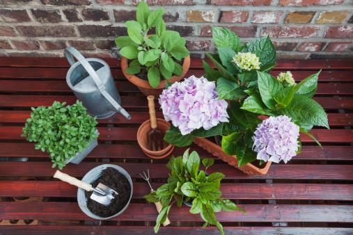 あじさい「Germany, Plants for the balcony」:スマホ壁紙(7)