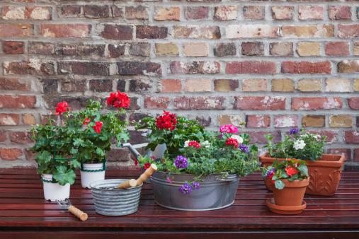ペチュニア「Germany, Plants for the balcony」:スマホ壁紙(6)