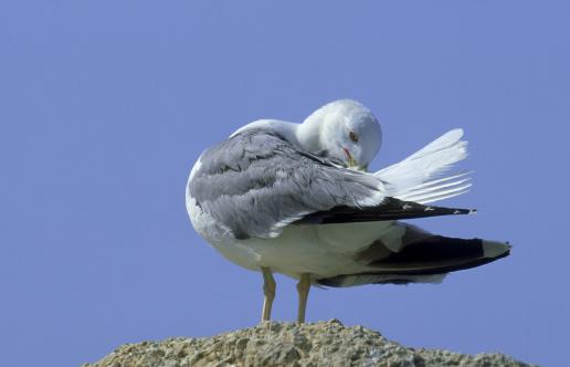 Herring Gull「mediterranean herring gull: larus argentatus  preening  son- parc. menorca」:スマホ壁紙(12)