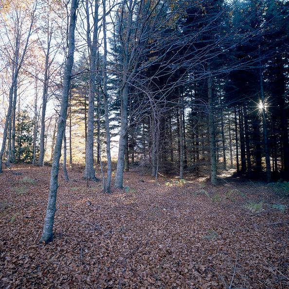 Beech Tree「Mediterranean forest」:写真・画像(9)[壁紙.com]
