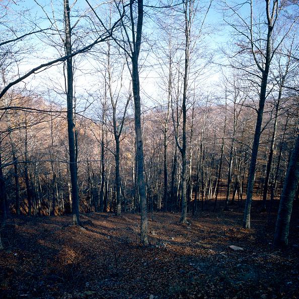 Beech Tree「Mediterranean forest」:写真・画像(8)[壁紙.com]