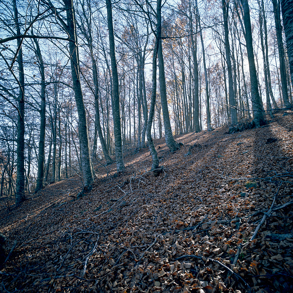 Beech Tree「Mediterranean forest」:写真・画像(3)[壁紙.com]