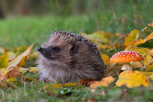 Hedgehog and toadstool:スマホ壁紙(壁紙.com)