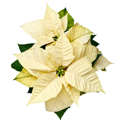 Poinsettia「Yellow Christmas Poinsettia」:スマホ壁紙(14)