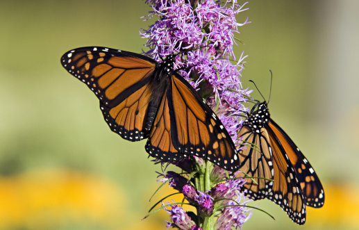 Inferno「Monarch Butterflies, Danaus plexippus, on Blazing Star, Liatris sp, Michigan, USA. Male on left has two spots on hind wings. Host plants are milkweeds. Incredible long annual migration (some, 2500 miles).」:スマホ壁紙(14)
