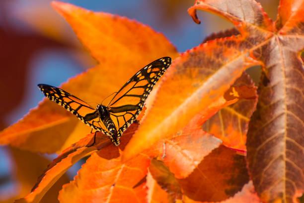 Monarch butterfly on an autumn leaf:スマホ壁紙(壁紙.com)