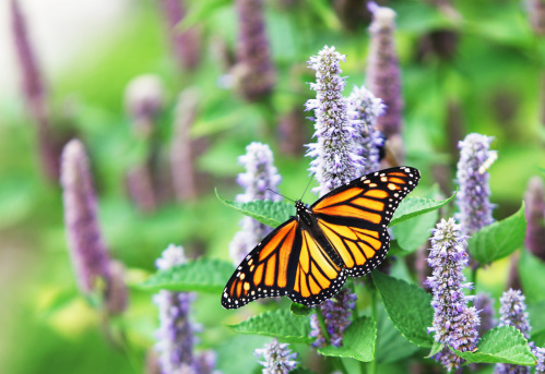 Lavender Color「Monarch Butterfly (Danaus plexippus) on Lavender Anise Hyssop Blossom」:スマホ壁紙(13)