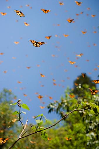 Flapping Wings「Monarch Butterfly Preserve」:スマホ壁紙(6)