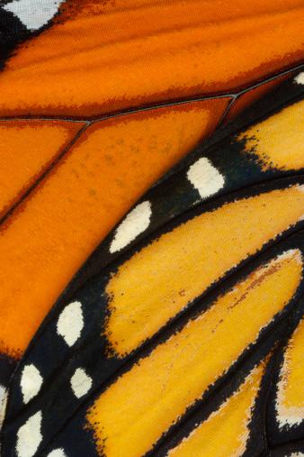 Animal Wing「Monarch butterfly (Danaus plexippus) wing, detail」:スマホ壁紙(18)