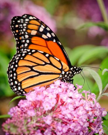Briefcase「Monarch Butterfly (Danaus plexippus) Drinking Nectar on Purple Flowers」:スマホ壁紙(11)