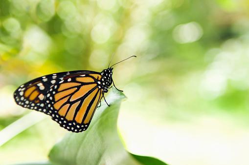 Miami「Monarch butterfly perching on leaf」:スマホ壁紙(2)