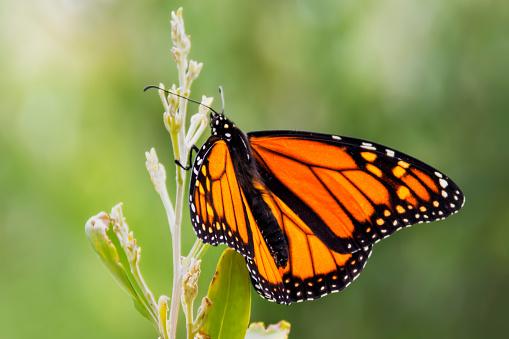 Animal Wing「Monarch Butterfly on a plant」:スマホ壁紙(17)