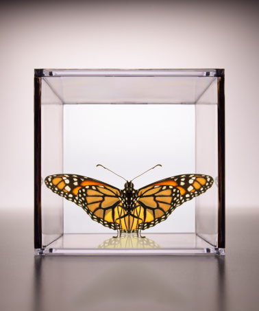 Confined Space「Monarch Butterfly confined in a box」:スマホ壁紙(13)
