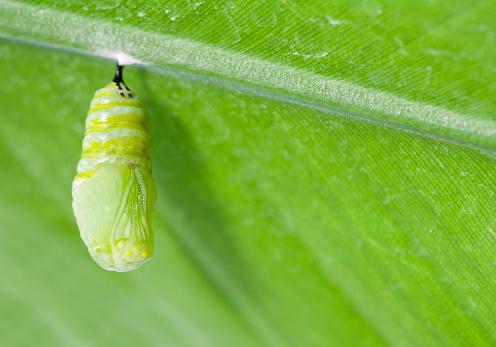 Miami「Monarch butterfly chrysalis hanging from leaf」:スマホ壁紙(11)