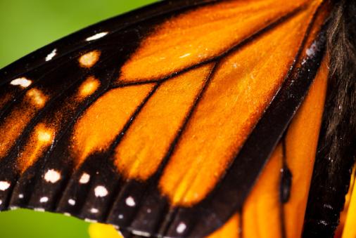 Girly「Monarch Butterfly wing」:スマホ壁紙(12)