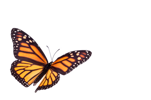 昆虫「モナーク蝶」:スマホ壁紙(19)