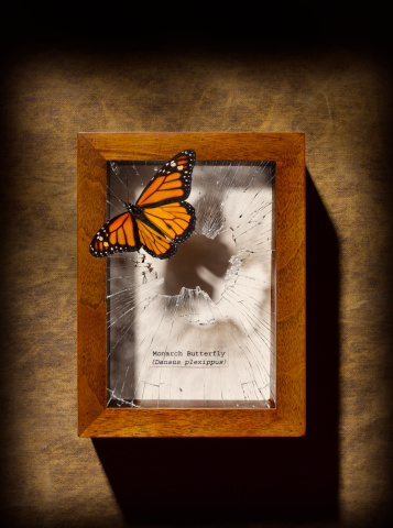 Shadow Box「Monarch butterfly escaping display case」:スマホ壁紙(3)