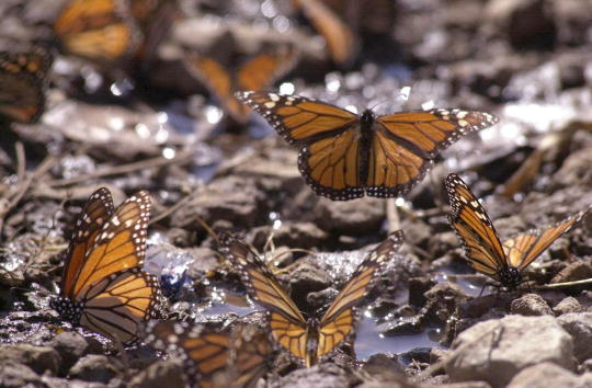 Butterfly - Insect「Monarch Butterflies Return to Mexico」:写真・画像(11)[壁紙.com]