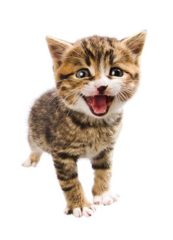 Mixed-Breed Cat「miaowing kitten」:スマホ壁紙(6)
